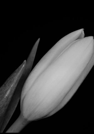 SCAN_hassy_flower_BW 4_m_800